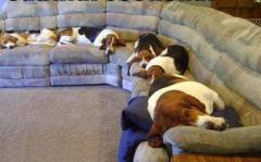 dogs laying on a sofa
